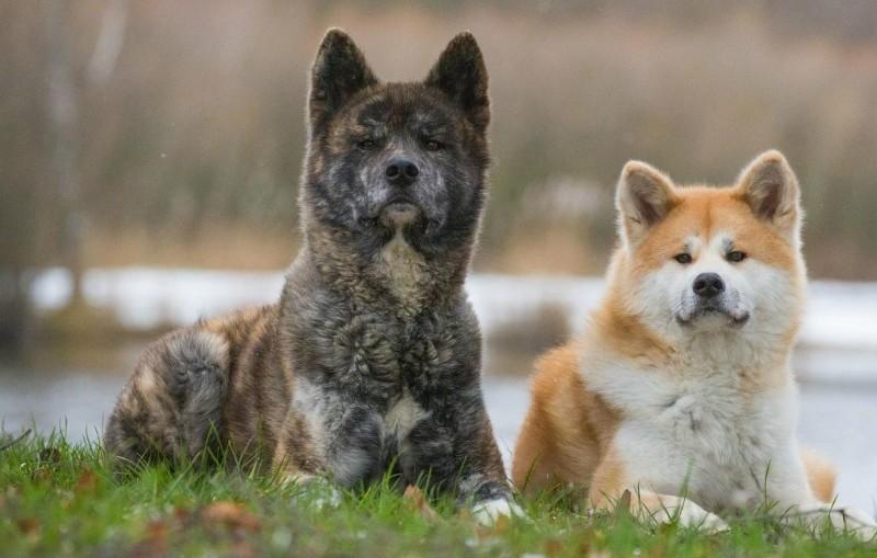 Акита ину - лиса в теле собаки