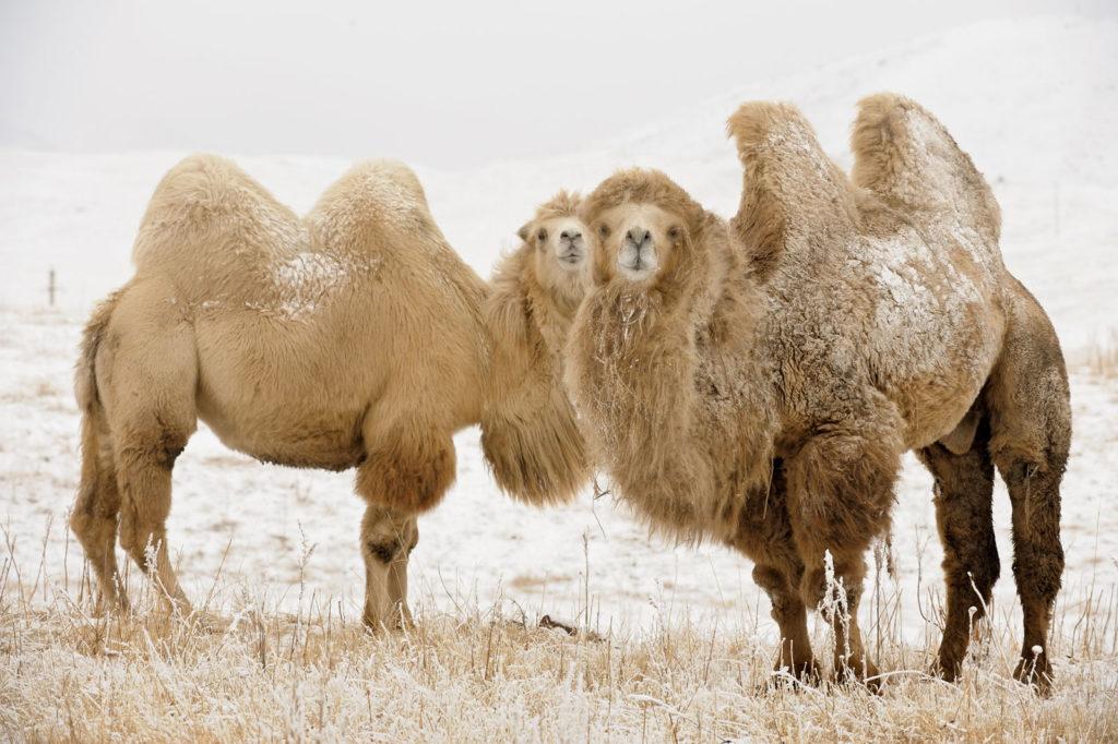 Бактриан: Мы слишком мало знаем о верблюдах