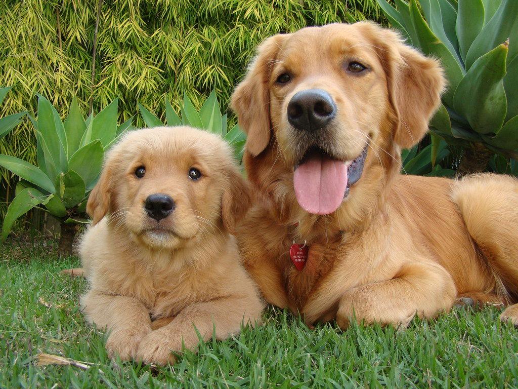 Золотая собака фото