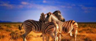 Зебра: фото, описание, цвет шкуры, питание и размножение