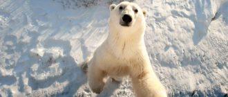 Белый медведь: фото, внешний вид, особенности, отличия