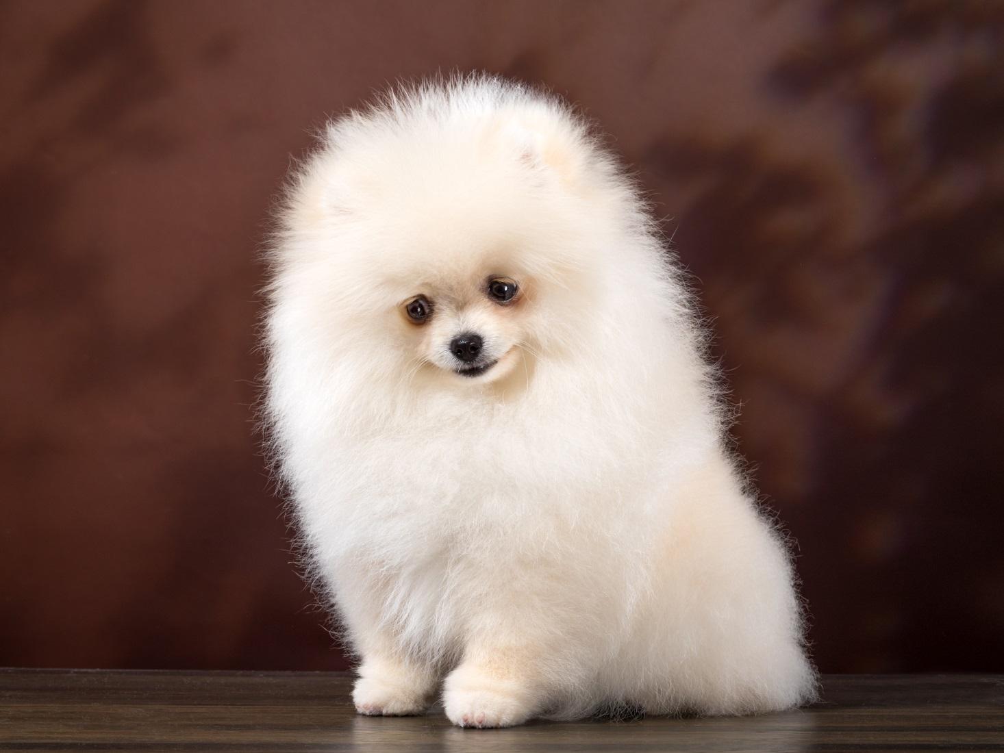 Маленькие собачки: Йоркширский терьер, Басенджи, Померанский шпиц