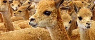 Викунья: фото, описание животного, внешний вид, особенности
