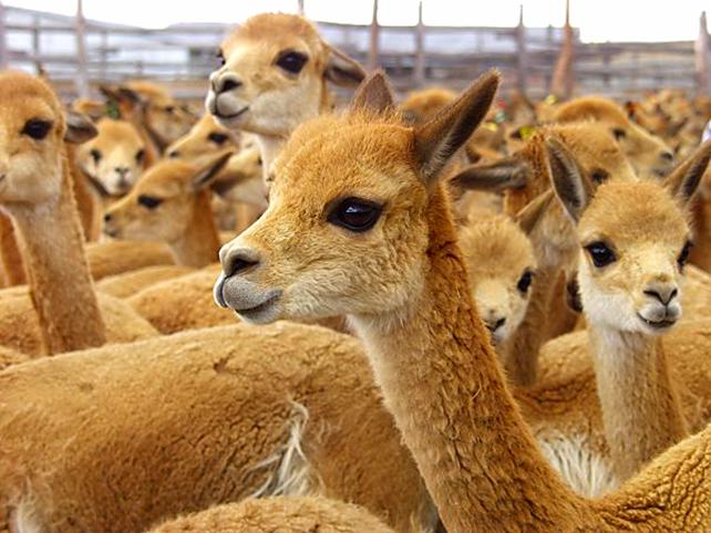Викунья: обаятельные ламоверблюды