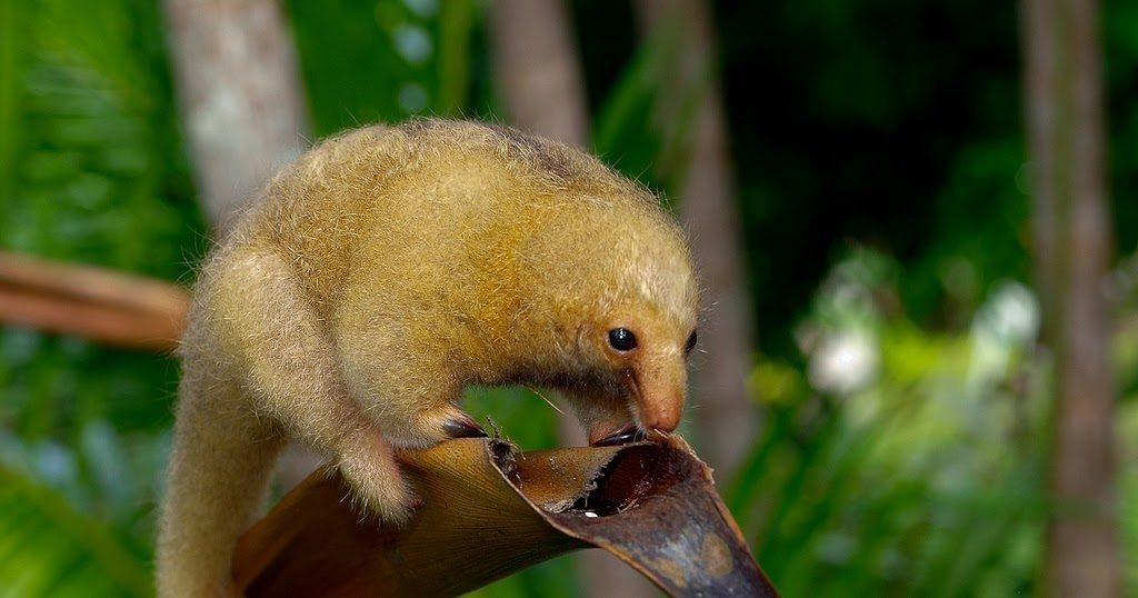 Карликовый муравьед: Няшный добряк из тропиков