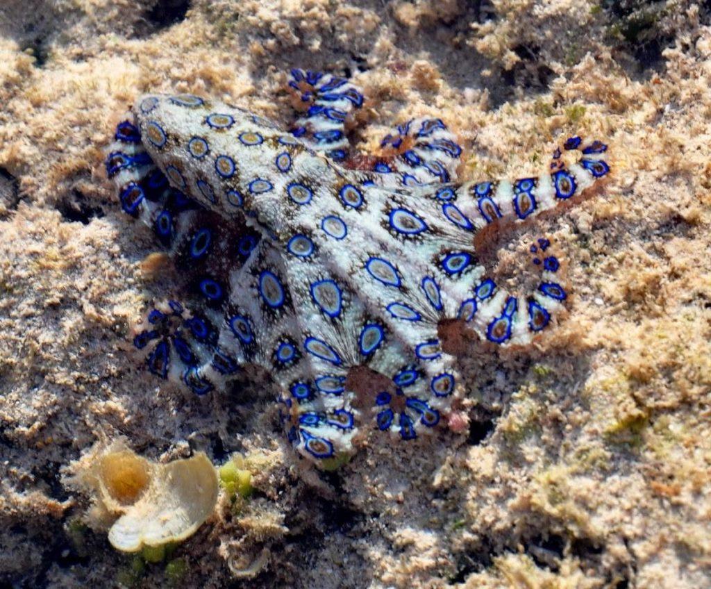 Синекольчатый осьминог: Ещё одна причина не купаться в Австралии