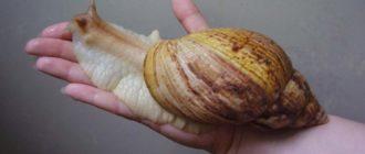 Гигантская ахатина: фото улитки, описание, особенности