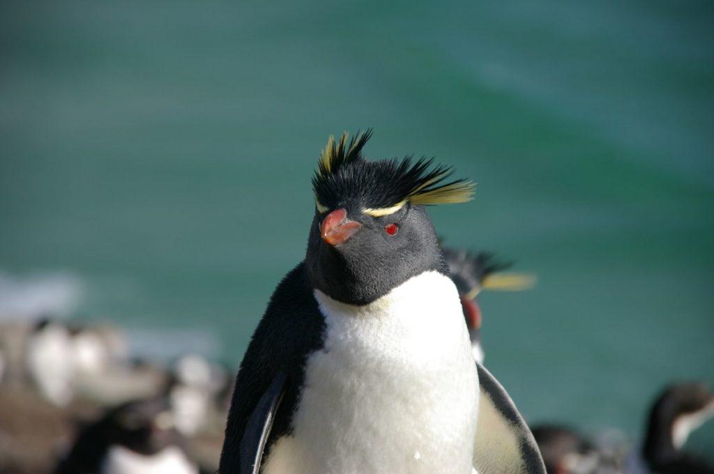 Хохлатый пингвин: Неформалы нынче в моде