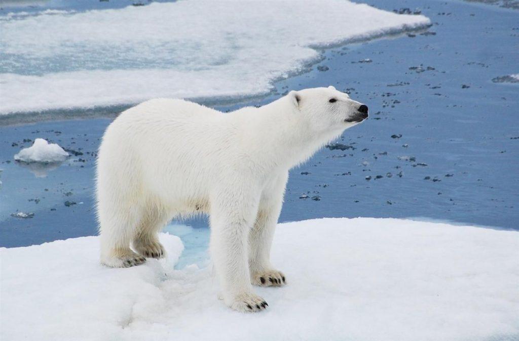 Белый медведь: На самом деле черный!