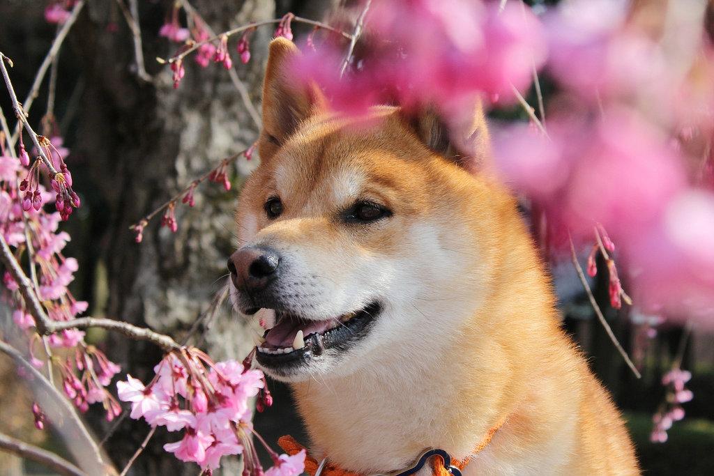 Хатико - порода собаки акита ину (фото и видео): отличный компаньон и своенравный друг