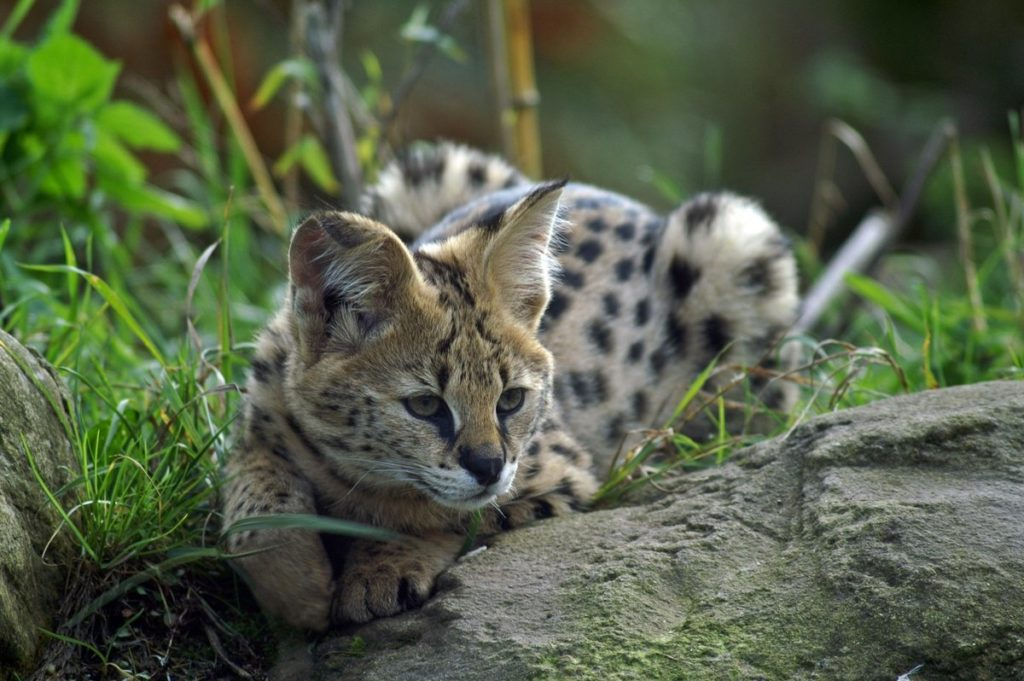 Сервал: Кошки с понтами