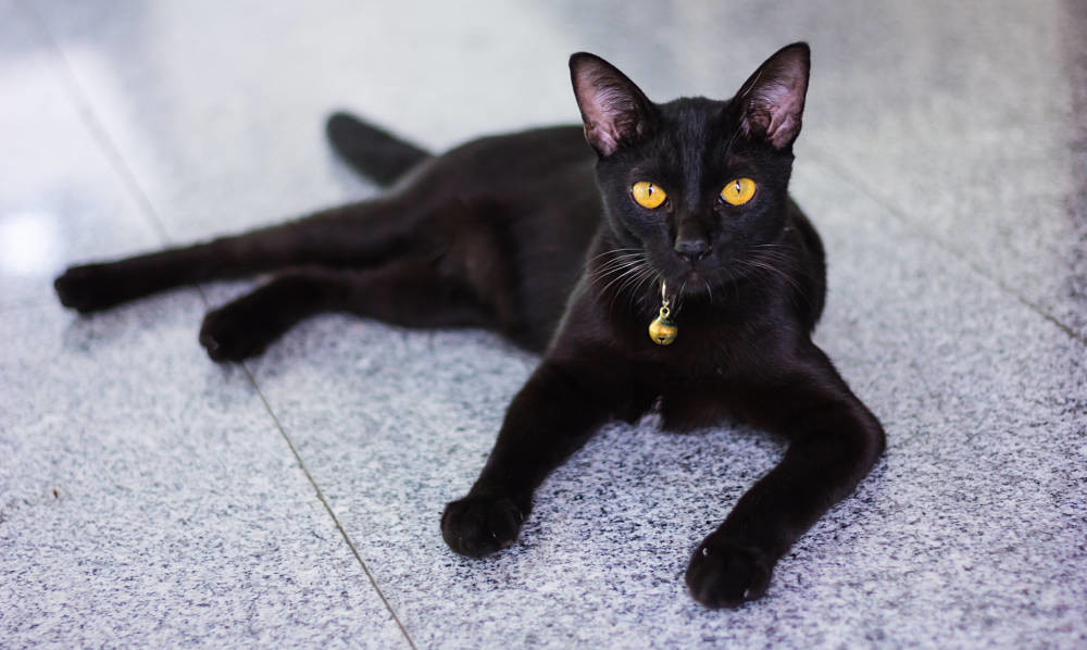 Черные кошки: фото, суеверия, приметы, породы, история