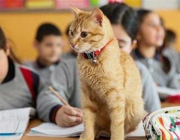 Необычное занятие для турецкого кота - он работает в школе!