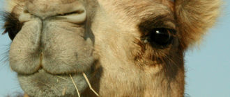 Бактриан: фото, внешний вид, описание верблюда, образ жизни