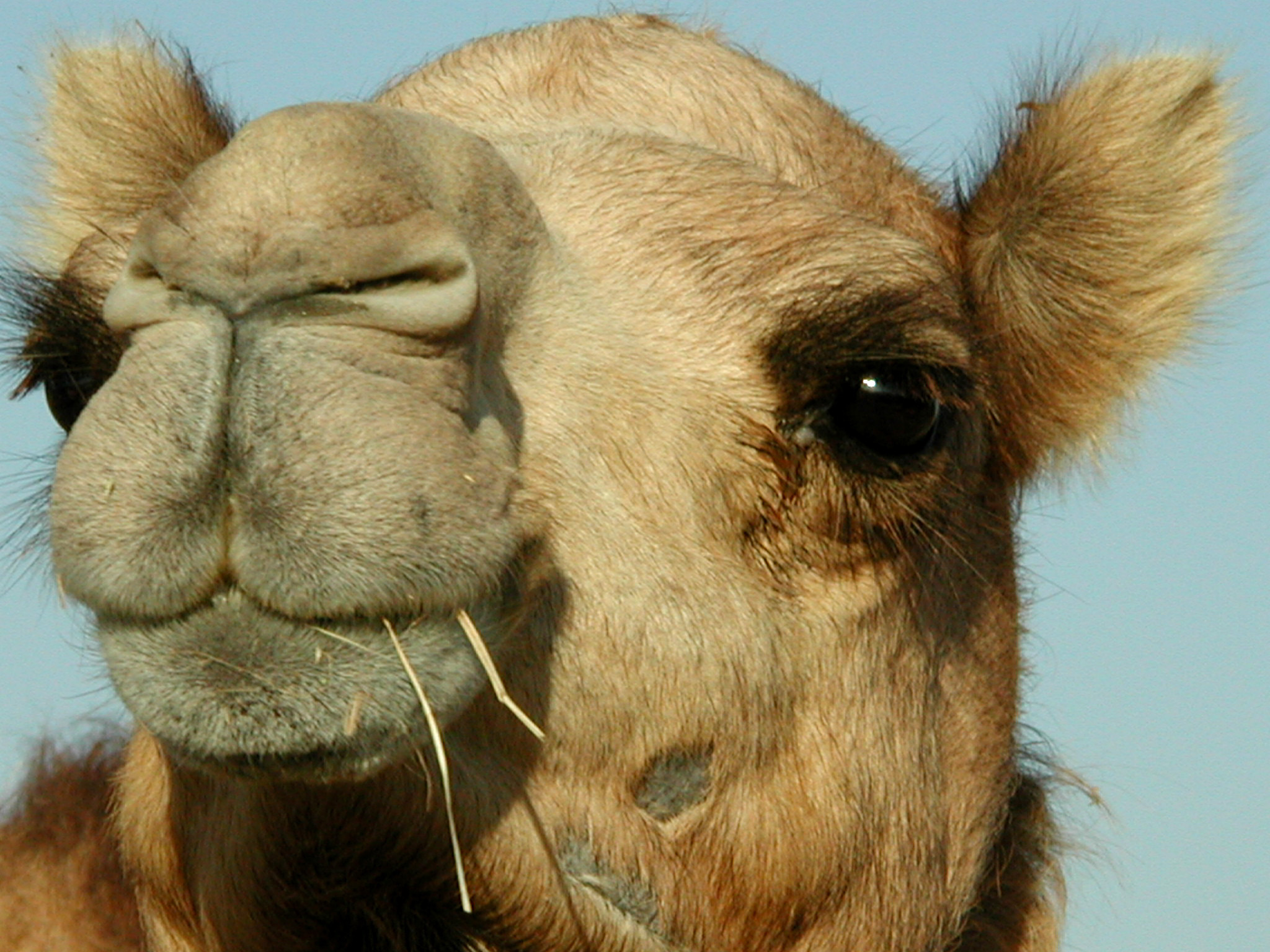что дончанка верблюд тупорылый картинки день