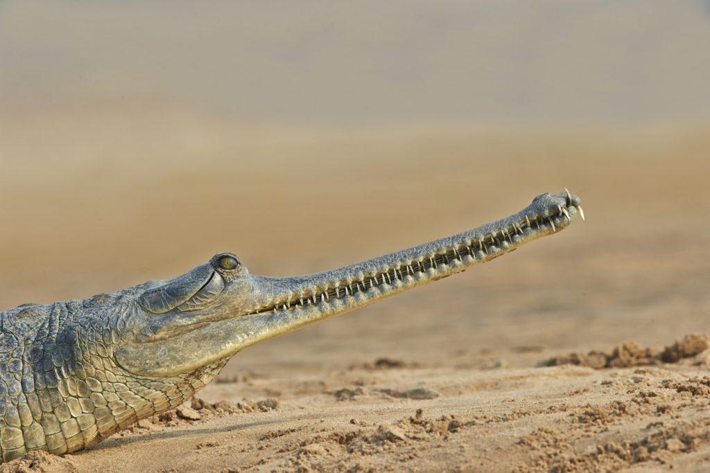 Гавиал: добрый дядя крокодил