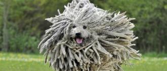 Комондор: фото собаки, история породы, описание, особенности