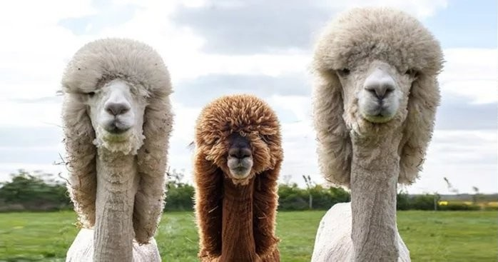 Ламы хиппи - вся правда об альпаках