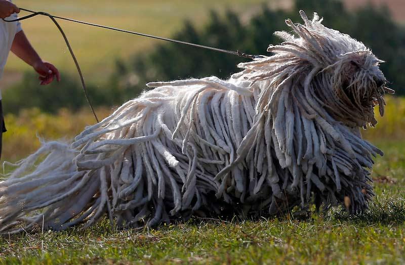https://dogsecrets.ru/wp-content/uploads/2015/12/komandor-sobaka-foto-tsena.jpg