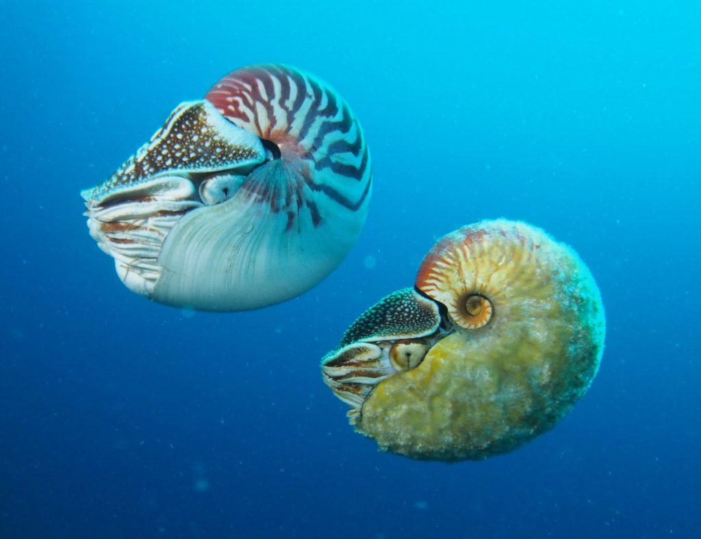 Наутилус: Древность шепчет устами этого молюска