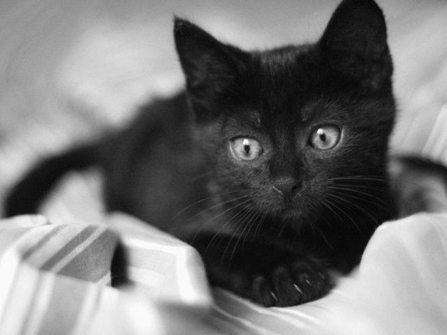 Невезучая порода - почему черная кошка объект суеверий? История и факты