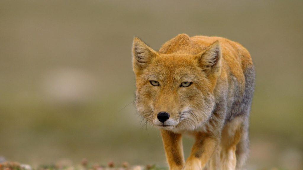 Тибетская лиса - Смотрит на вас, как на ... добычу
