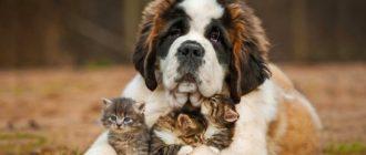 Сенбернар: фото собаки, стандарт породы, особенности, характер
