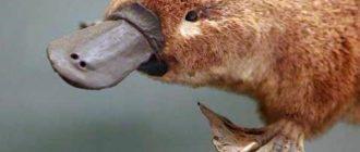 Утконос: фото, история вида, внешний вид, особенности животного
