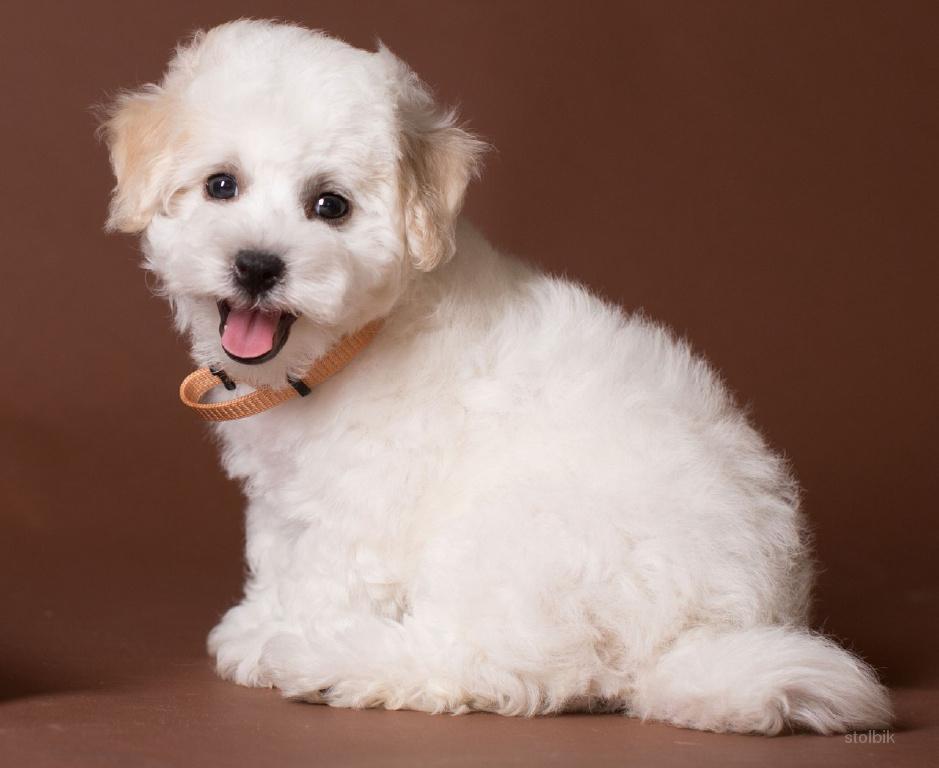Бишон Фризе - плюшевая собака