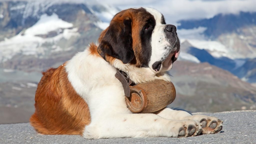 Сенбернар - добрый монах в теле собаки-гиганта
