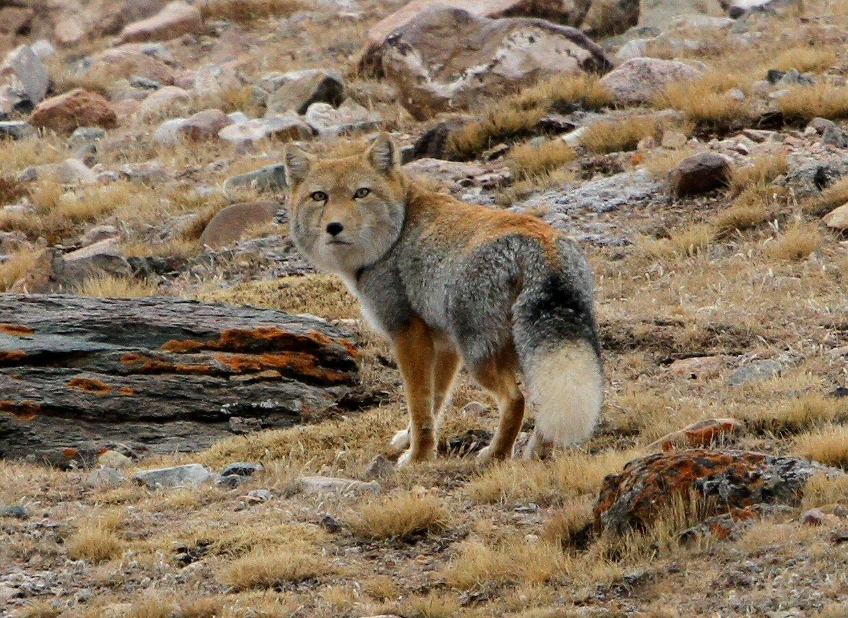 стиль тибетская лисица фото вперед скажу