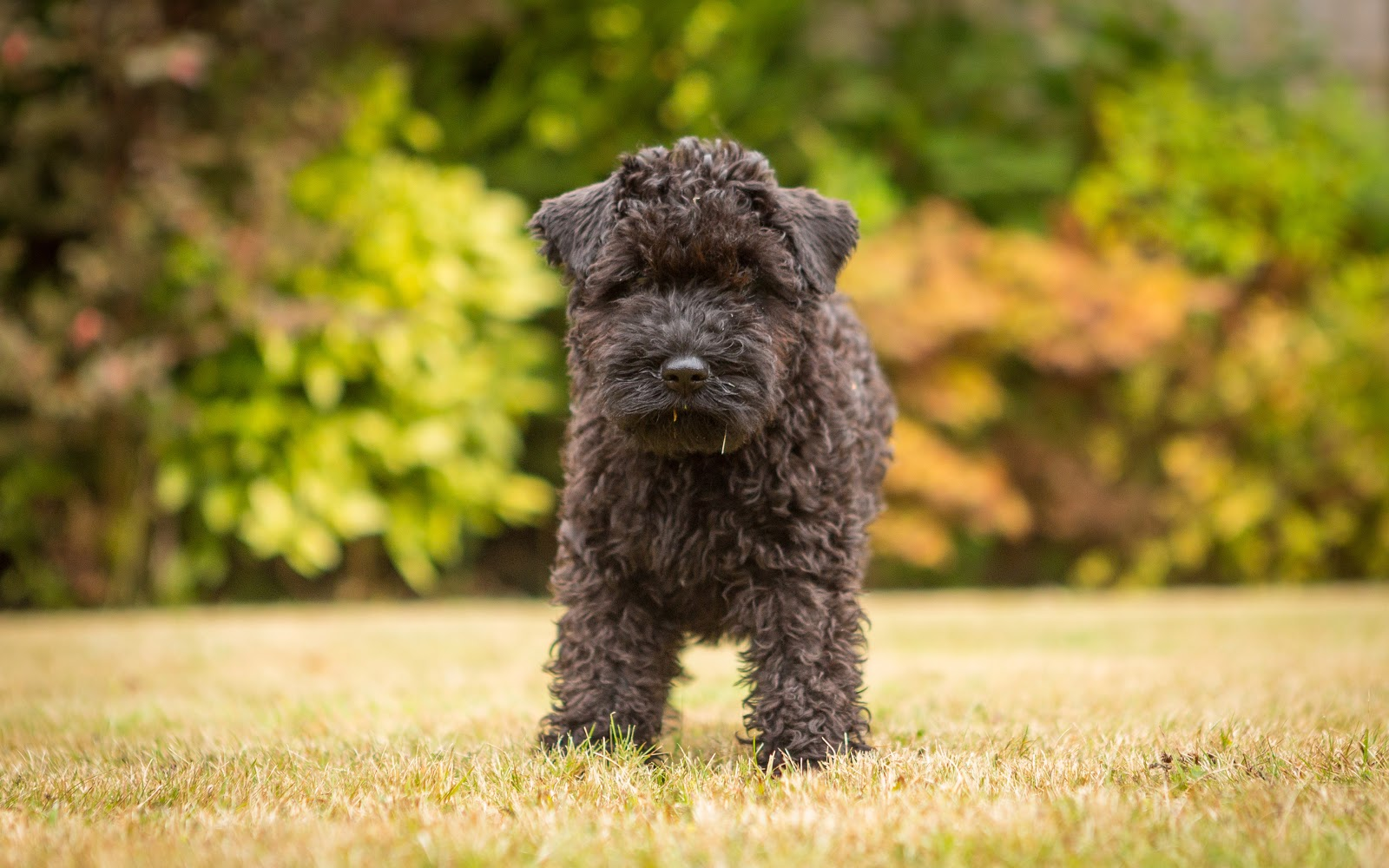 Собака Дешик: история, фото, роль в семье, биография