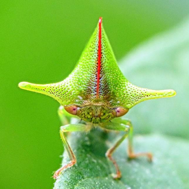 Горбатка: необычное и очень впечатляющее миниатюрное насекомое