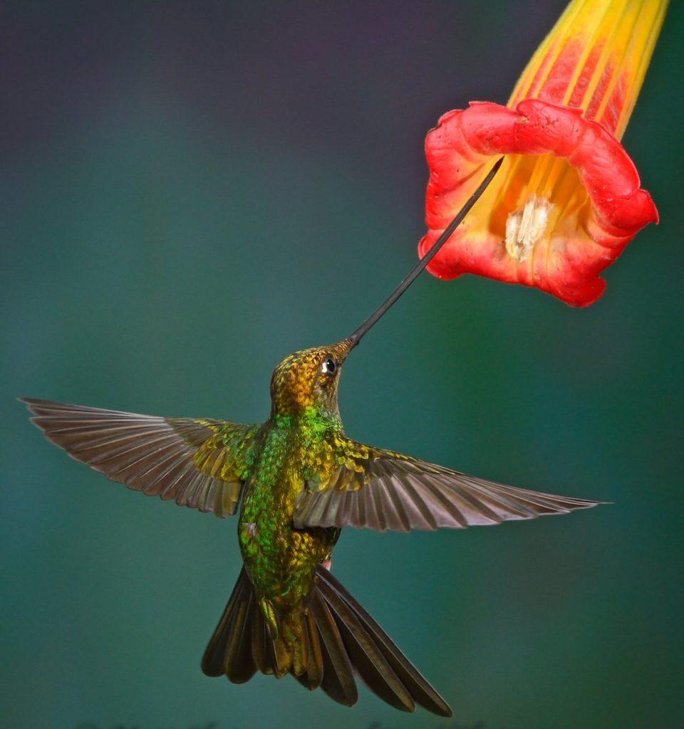 Мечеклювый колибри: Самый длинный клюв южной Америки