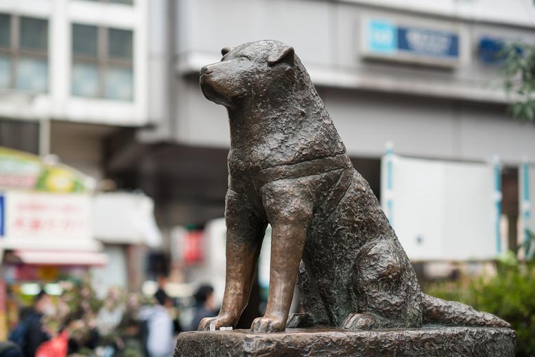 Японская Акита Ину - собака-хозяина-ждака