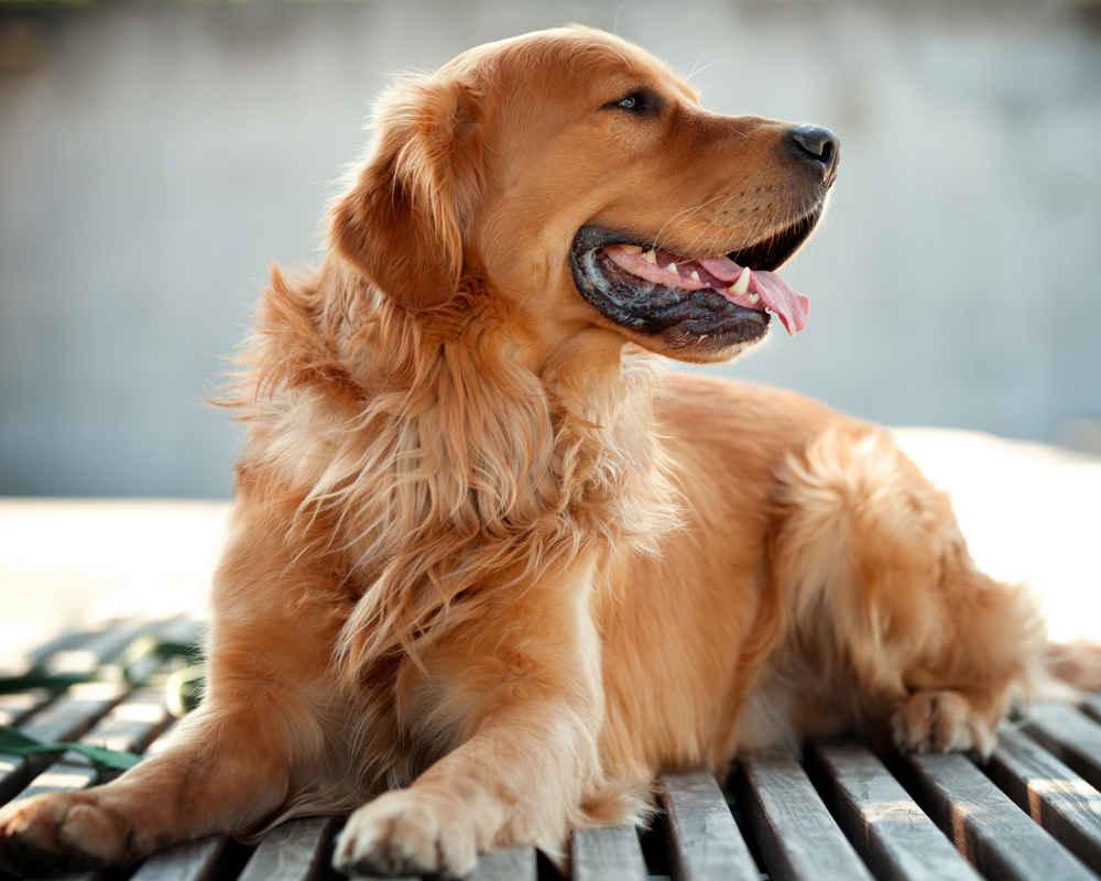 Золотистый ретривер - практические идеальная собака!
