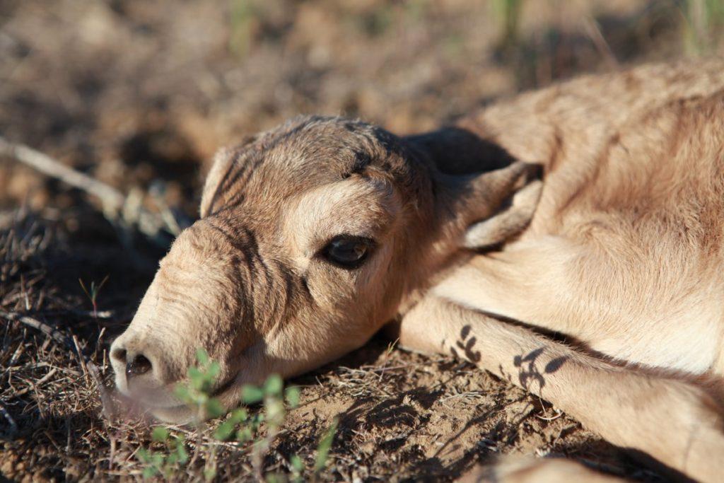 Сайгак - антилопа с хоботом