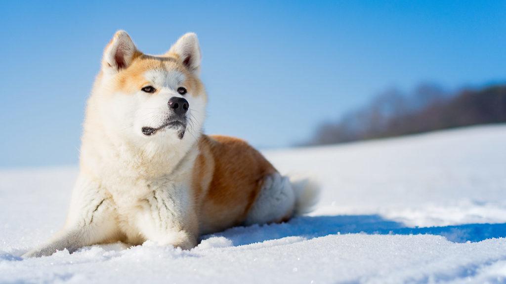 Акита ину - озорной буддистский монах в теле собаки