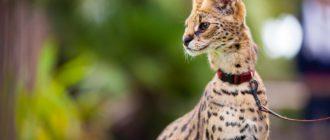 Сервал: фото, внешний вид, где обитает, питание и размножение