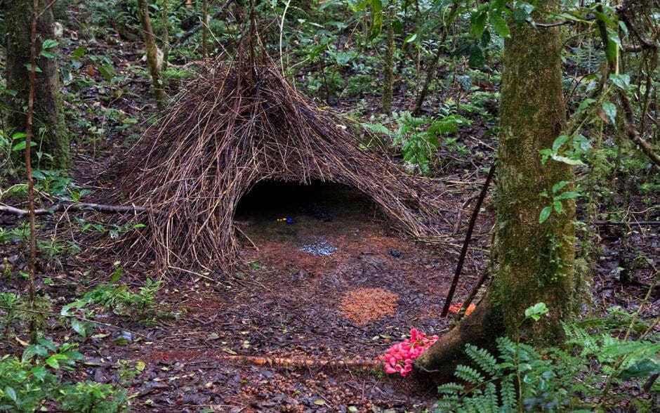 Шалашник: строитель самых навороченных гнезд