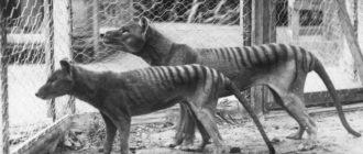 Сумчатый волк: изображения, внешний вид, описание, клонирование