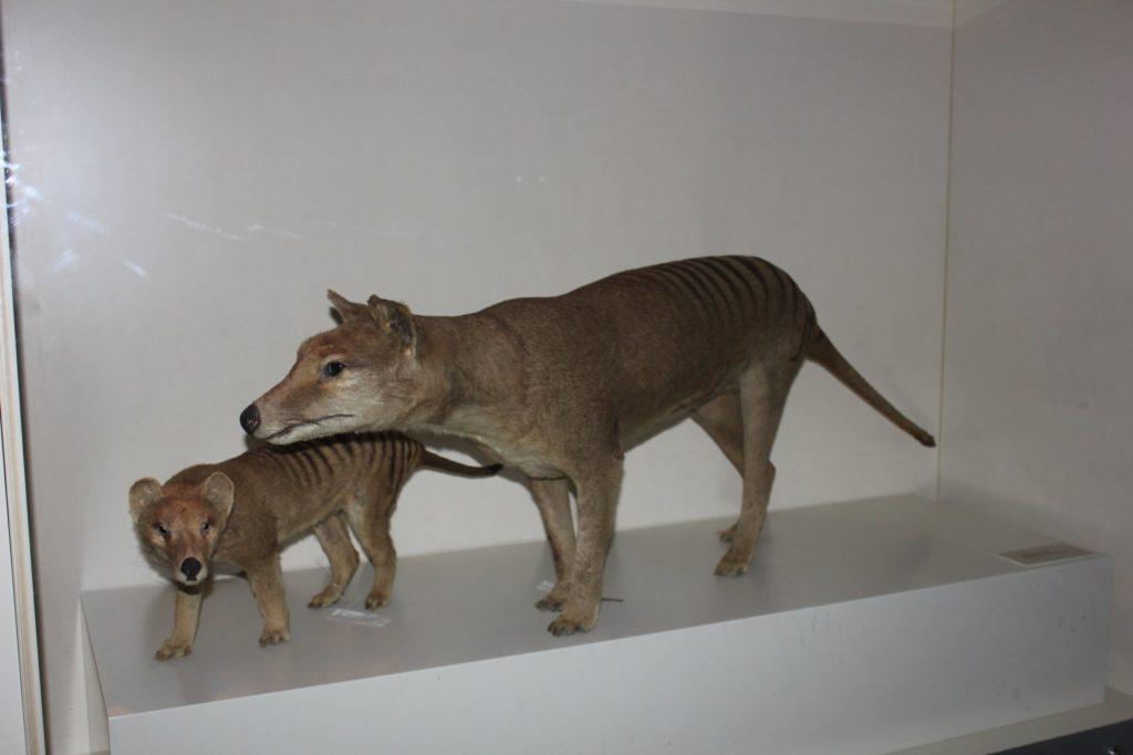 Сумчатый волк - а почему бы и не клонировать?