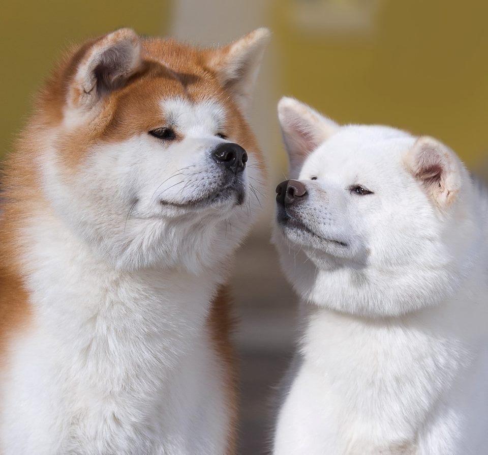 Порода собак акита-ину: фото, видео, хатико, собака путина