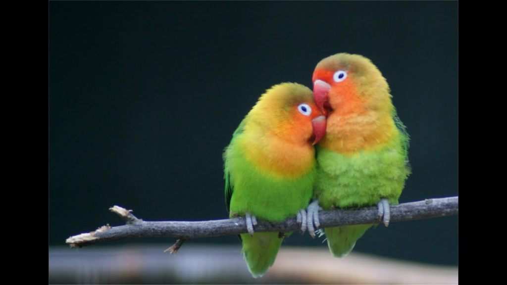 Попугаи неразлучники: особенность породы и правила ухода за птицами