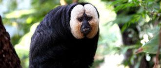 Бледный саки: фото примата, внешний вид, описание, образ жизни