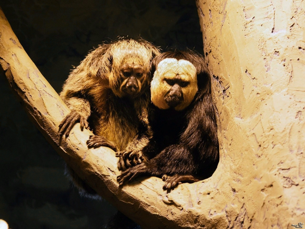 Бледный саки: примат с двумя лицами