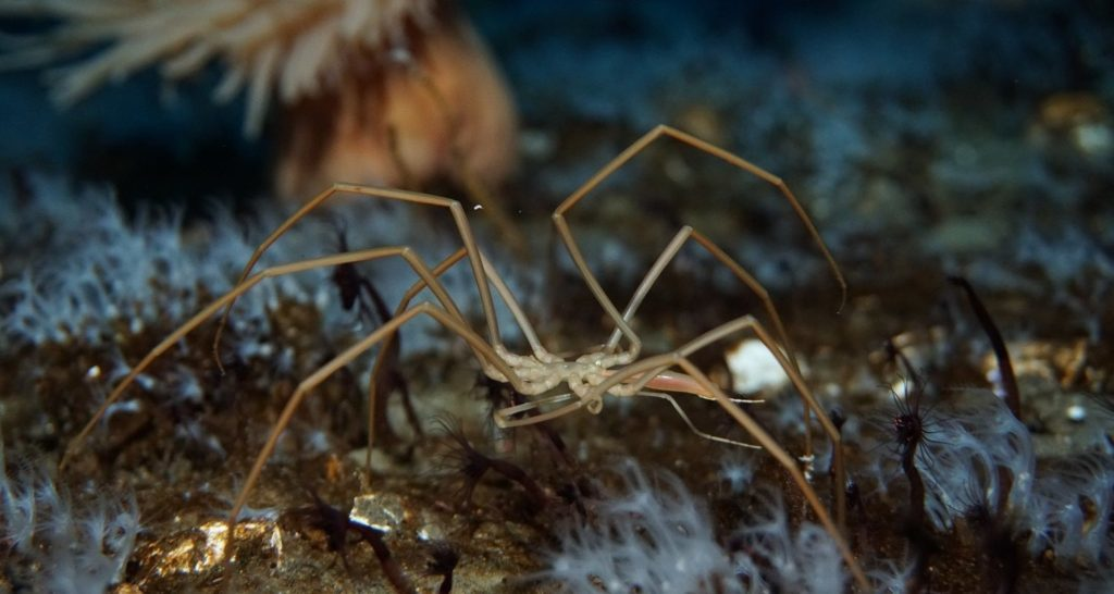 Пантоподы: под водой тоже есть пауки