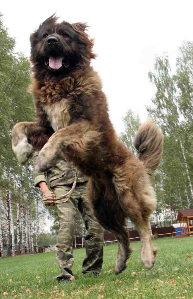 Кавказская овчарка: описание, фото, отзывы владельцев