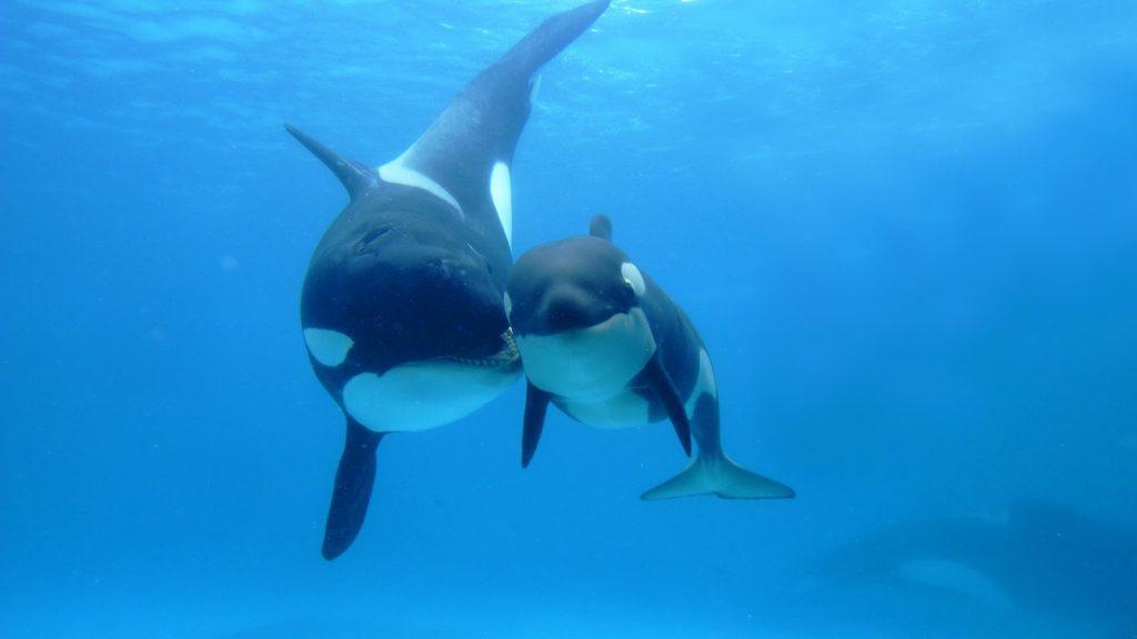 Косатка - кит, который дельфин