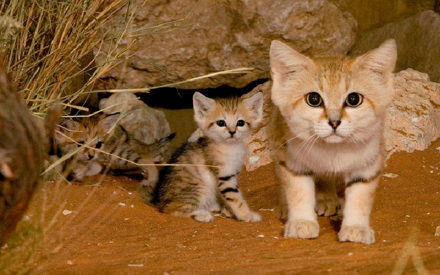 Барханный кот: Самая грозная няшная котейка